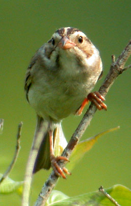 Clay-colored Sparrow at Cliffside Park, Racine County - © 2002 Eric Howe