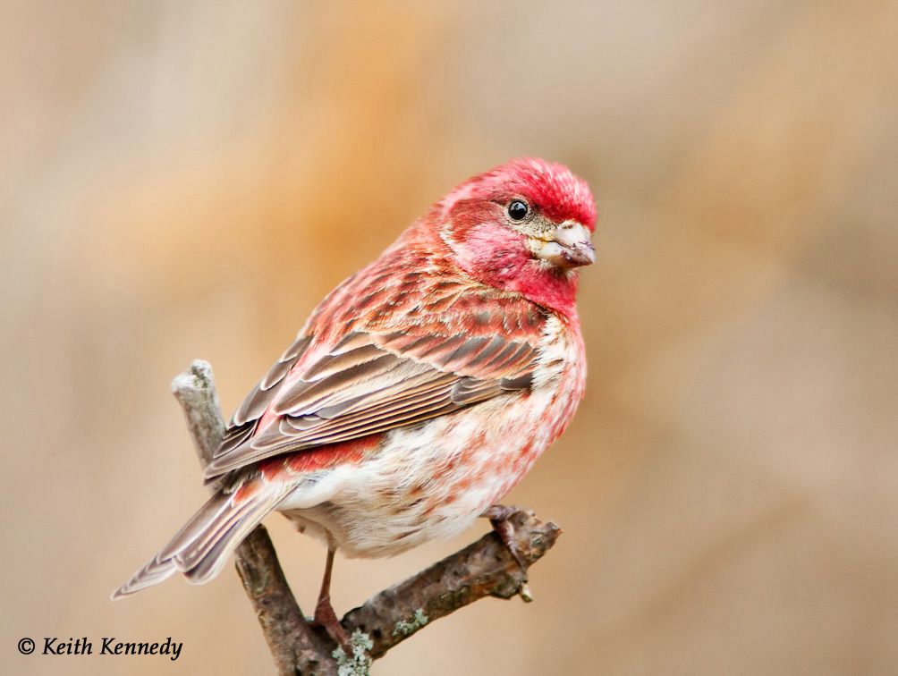 Purple Finch (photo by Keith Kennedy)