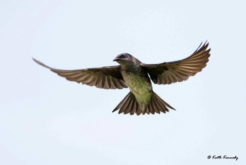 Purple Martin (photo by Keith Kennedy)