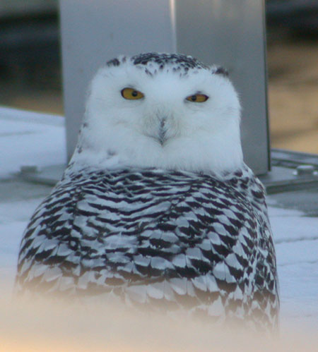 Snowy Owl (photo by Eric Howe)