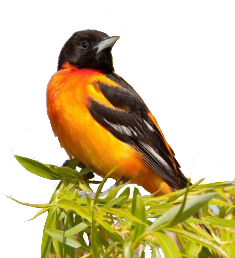 Baltimore Oriole (photo by Jennifer Wenzel)